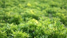 Gr?n ny v?xt av sl?ktet Trifolium som v?xer i tidig v?r Kan anv?ndas som en bakgrund eller en textur, n?rbild arkivbilder