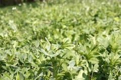 Gr?n ny v?xt av sl?ktet Trifolium som v?xer i tidig v?r Kan anv?ndas som en bakgrund eller en textur, n?rbild arkivbild