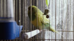 Gr?n papegoja i en bur arkivfilmer