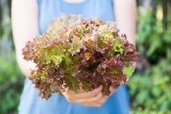 Gr?n-rote Anlage des Kopfsalates, Gem?selandwirtschaft Biohofkonzept stockfoto