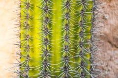 Gr?n rundete Mexiko-Kaktusmuster mit scharfen Spitzen vor der Wand lizenzfreies stockbild