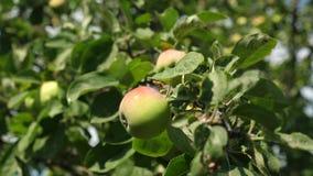 gr?n tree f?r ?pplen Organisk frukt H?rliga ?pplen mognar p? en filial i str?larna av solen _ stock video