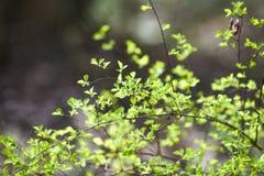 Gr?na v?rknoppar p? tr?d green leaves arkivfoton