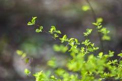 Gr?na v?rknoppar p? tr?d green leaves royaltyfri bild