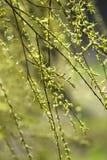 Gr?na v?rknoppar p? tr?d green leaves arkivbilder
