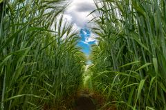 Gr?ne ?hrchen des Weizens gegen den blauen Himmel und die grauen Wolken stockfoto
