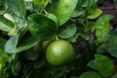 Gr?ne Kalke auf einem Baum Kalk ist eine hybride Zitrusfrucht, die gew?hnlich rund ist stockfoto