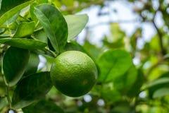 Gr?ne Kalke auf einem Baum Kalk ist eine hybride Zitrusfrucht, die gew?hnlich rund ist lizenzfreies stockfoto