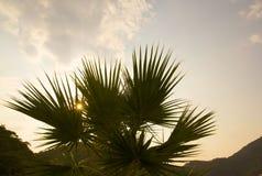 Gr?ne Palme auf dem Himmel und dem Gebirgshintergrund Bl?hende Blumen helles Grün und Sonnenuntergang Hei?es Wetter des Sommers f lizenzfreies stockfoto