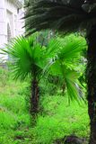 Gr?ne sch?ne Palme Langer Stamm-Dattelpalme-Baum Daten an einer Palme Datumspalmenniederlassungen mit reifen Daten B?ndel barhi D stockbild