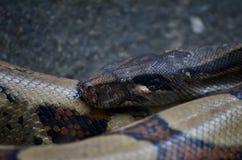 Gr?ner Anaconda stockbilder