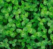 Gr?ner Hintergrund des frischen saftigen Grases in den Tropfen des Taus nach Regen, Reinheit der Natur lizenzfreie stockfotografie