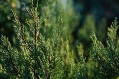 Gr?ner Hintergrund Zypresse verzweigt sich n die Hecke im Garten lizenzfreie stockbilder