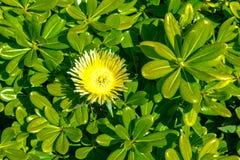 Gr?nes Busch pittosporum mit Blumentobira Nana lizenzfreie stockbilder