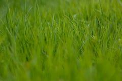 Gr?nes Gras das Gras r?hrt sich vom Wind Unscharfer Hintergrund stockbild