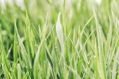 Gr?nes Gras des Sommers bedeckt mit reinem Tau stockfotos