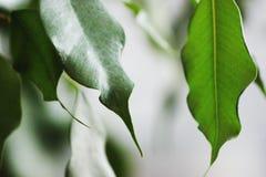 Gr?nes Laub des Ficusbusches lizenzfreie stockfotografie