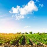 Gr?nsakrader av peppar v?xer i f?ltet Lantbruk jordbruk Landskap med jordbruks- land arkivbild