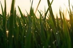 Gr?nt gr?s med daggdroppar p? soluppg?ng i v?r mot bakgrunden av solljus Sk?nhet av naturen N?rbild Fokuskontroll arkivbilder