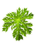 grön leafpapaya Royaltyfri Foto