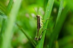 grön natur för gräshoppa Royaltyfria Foton