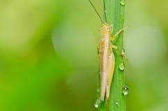 grön natur för gräshoppa Royaltyfri Bild