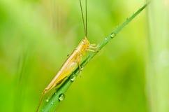 grön natur för gräshoppa Arkivbilder