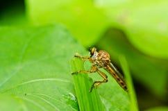 grön natur robberfly Fotografering för Bildbyråer