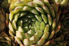 grön växtsempervivum Arkivfoto