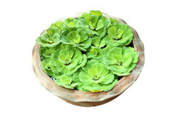 gröna pistiastratiotes Arkivfoton