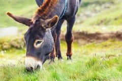 Grå åsna, stående Arkivfoto