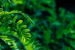 Gr?splansidor av akacian i solljuset arkivbild
