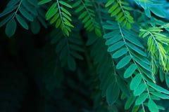Gr?splansidor av akacian i solljuset royaltyfri foto