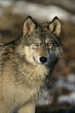 Grå varg, Canislupus Royaltyfri Foto