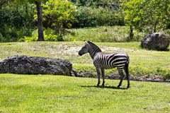 Grévy's Zebra - also known as the Imperial Zebra Royalty Free Stock Photo