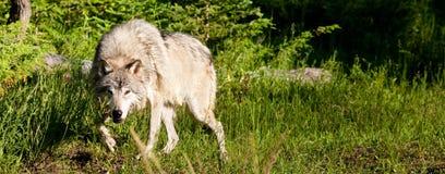 grå wold Royaltyfria Bilder