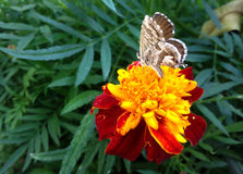 GRΑY BUTTERFLY ON AN ORANGE-RED FLOWER. A beautiful gray butterfly on an orange - red colored flower among green leaves Stock Photography