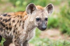 Grać główna rolę Łaciastego hieny lisiątka w Kruger parku narodowym, Południowa Afryka Zdjęcie Royalty Free