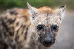Grać główna rolę Łaciastego hieny lisiątka w Kruger parku narodowym, Południowa Afryka Zdjęcia Royalty Free