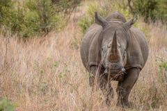 Grać główna rolę Białą nosorożec Fotografia Stock