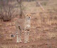 Grać główna rolę geparda Zdjęcie Stock