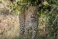 Grać główna rolę lamparta w Kruger parku narodowym, Południowa Afryka Obrazy Stock