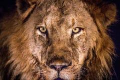 Grać główna rolę lwa w świetle reflektorów w Kruger Obrazy Stock