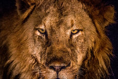 Grać główna rolę lwa w świetle reflektorów w Kruger Fotografia Stock