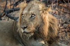 Grać główna rolę lwa w Kruger parku narodowym, Południowa Afryka Fotografia Royalty Free