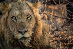 Grać główna rolę lwa w Kruger parku narodowym, Południowa Afryka Zdjęcia Stock
