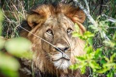 Grać główna rolę męskiego lwa przez krzaków Zdjęcie Stock