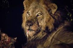 Grać główna rolę męskiego lwa w Kruger Zdjęcia Royalty Free