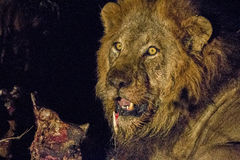 Grać główna rolę męskiego lwa w Kruger Fotografia Stock