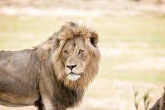 Grać główna rolę ogromnego męskiego lwa Fotografia Stock